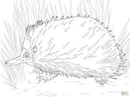 photos of echidna coloring pages animal coloring pages short