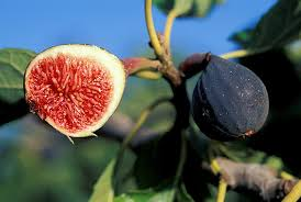 how to clone and grow a fig tree u2014 gardening make
