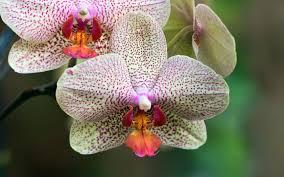 Flower Orchid Redland International Orchid Festival