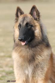belgian sheepdog short hair pets belgian tervuren