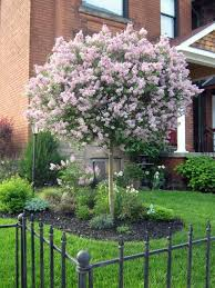 Landscaping Ideas For Small Front Yard 25 Unique Dwarf Trees Ideas On Pinterest Dwarf Lilac Dwarf