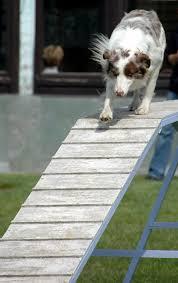 australian shepherd agility file australian shepherd red merle agility dogwalk jpg wikimedia