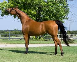 arabian horse wikipedia