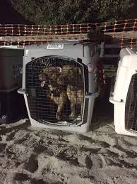 California Wildfire Animal Rescue by Island Dog Rescue Saves 300 Pets By Chartering Flight During
