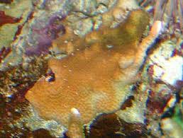boulder coral porites sp christmas tree worm rock coral