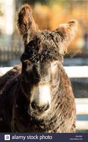diuris corymbosa common donkey orchid beautiful donkey stock photos u0026 beautiful donkey stock images alamy