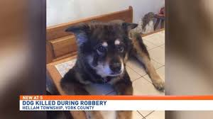 australian shepherd york woman seeking justice for dog killed by burglar vows u0027i will find