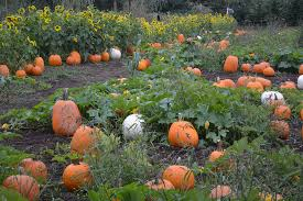 Best Pumpkin Patch Snohomish County by Letters To The Editor Marysville Globe