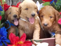 f1 standard goldendoodle puppies 2016 goldendoodle dandies