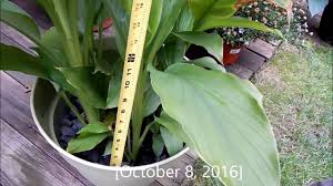 growing turmeric plants in the containers outdoors in summer and
