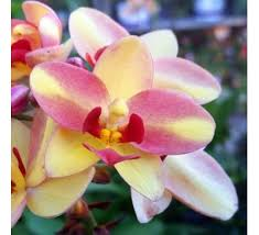 buy an orchid orchids buy orchids online at best price on plantsguru