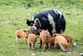 kunekune pig breeds as exotic pets