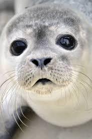 Seal Meme Generator - baby seal meme generator