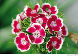 sweet william flowers sweet william dictionary definition sweet william defined