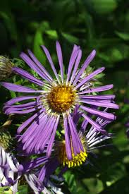 new england native plants new england aster