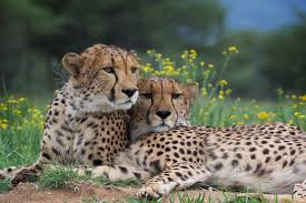 5 fast cheetah facts for international cheetah day planet experts