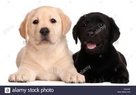 black brown labrador puppies stock photos u0026 black brown labrador