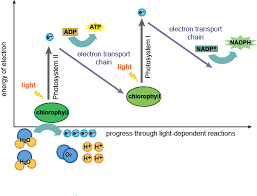 The Light Reactions Of Photosynthesis Use And Produce Biology The Light Dependent And Light Independent Reactions