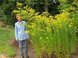native plants in virginia goldenrod piedmont master gardeners
