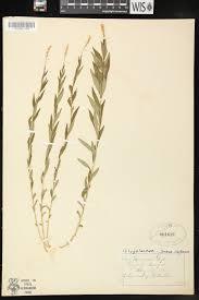 seneca snakeroot online virtual flora of wisconsin polygala senega