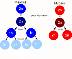 meiosis cell division diagram schematics wiring diagram