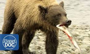 Animal Planet Documentary Grizzly Bears Full Documentaries - the dingo s strength nature planet doc full documentaries