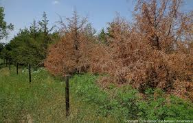 the mystery of the dying cedar trees the prairie ecologist