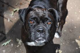 boxer dog disposition boxers boxerrunner