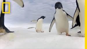 adélie penguin numbers have marched upward u2014but should we be happy