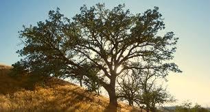 tree symbolism oak tree symbolism information and planting instructions