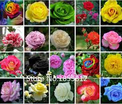 black roses for sale sale 300 pack flowers seeds four seasons black roses garden