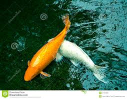 golden and white ornamental fishes in pond stock photo