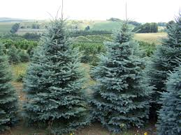 blue spruce trees forest view evergreen tree farms colorado blue spruce photos