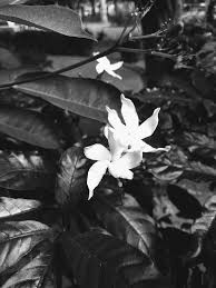free stock photo of black and white flower