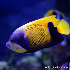majestic angelfish euxiphipops navarchus for sale petsolutions