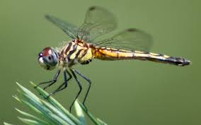 file dragonfly ran 384 jpg wikimedia commons