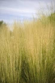 colorful easy and xeric ornamental grasses for western gardens