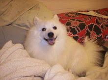american eskimo dog price in kolkata japanese spitz wikipedia