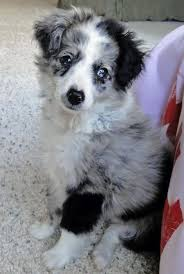 australian shepherd cattle dog mix best 25 australian shepherd mix puppies ideas on pinterest