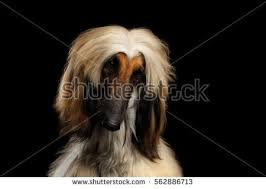 afghan hound in clothes afghans stock images royalty free images u0026 vectors shutterstock