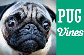 funny thanksgiving dog pictures new funny pug vines compilation youtube