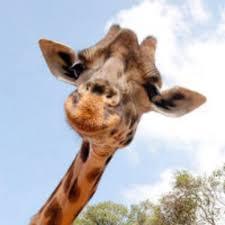 Meme Giraffe - the great giraffe challenge know your meme