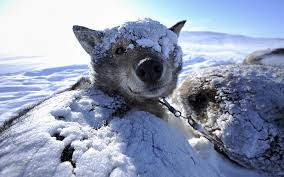 sled dog husky wake up 6965312