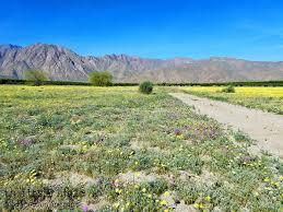 super bloom in borrego springs this tasty life