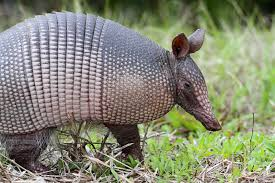 armadillo control how to get rid of armadillos