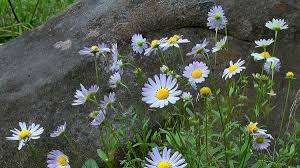 missouri native plant society know your natives u2013 western daisy arkansas native plant society