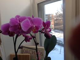 Orchids Facts by My First Orchid U2013 Learning How To Care For Orchids U2026