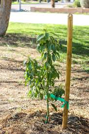 best 25 avocado tree ideas on avocado plant from seed
