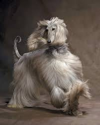 afghan hound in apartment a few of our favorite breeds martha stewart