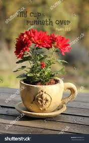 red mum flowers potted teacup planter stock photo 405089311